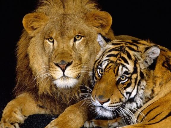 El-tigre-y-el-león