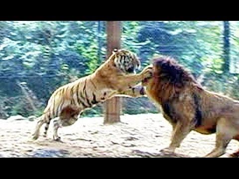 Tigres y Leones 2014